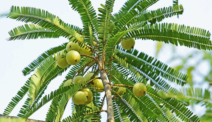 tree i hindi There are essentially two types of qust, indian (qust al hindi) and marine/sea (qust al bahri) both come in the form of a dried root and qust has a praised high status in the ahadith which is on par with hijama cupping.