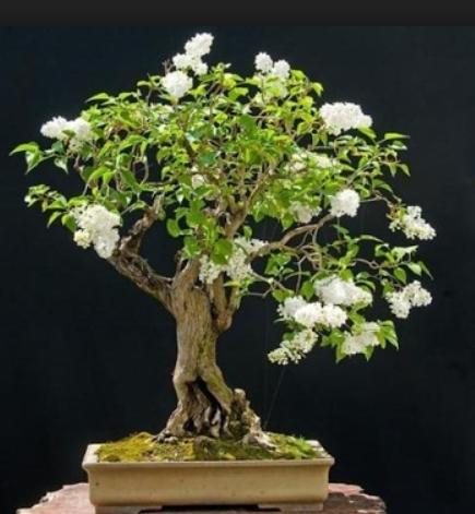 Snow Rose Bonsai Tree Bonsai Tree